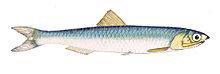 Engraulis Encrasicolus - Anchois