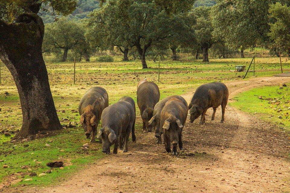 Porcs du Jambon Pata Negra